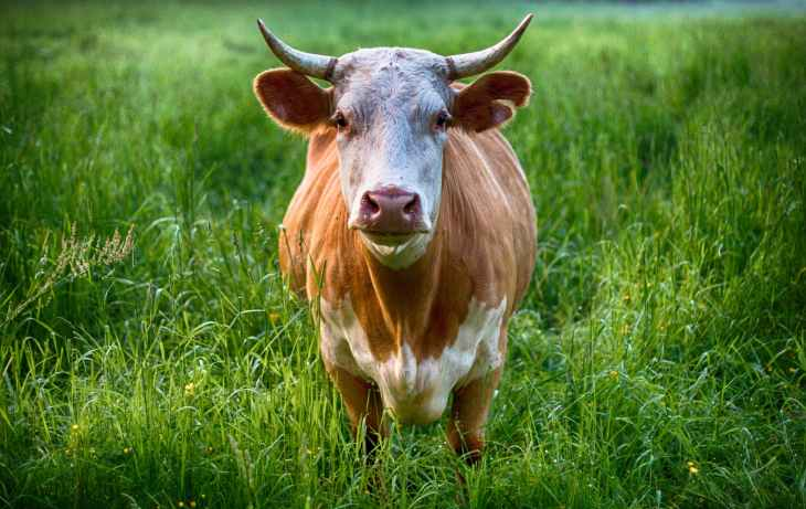 agriculture animal cattle close up
